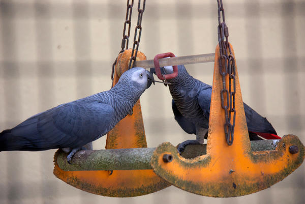 """Recent research has explored """"helping"""" behavior in species ranging from nonhuman primates to rats and bats. To see whether intelligent birds might help out a feathered pal, scientists did an experiment using African grey parrots like these."""