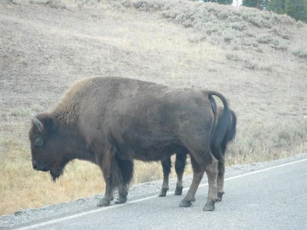 A bison standing off the road in Yellowstone National Park.