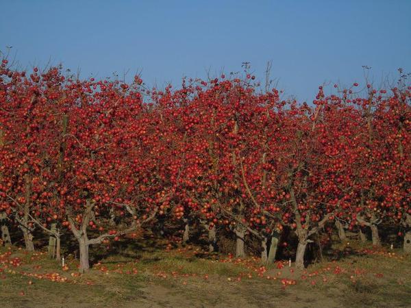 Apples remain unpicked in December 2019 in an orchard near Wallula, Washington.