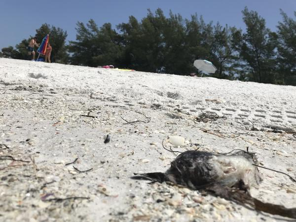 Dead fish washed ashore Manatee County in August of 2018 during a red tide outbreak. Credit: Jessica Meszaros