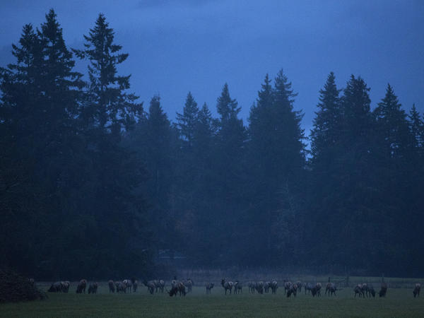 Elk graze in Skagit Valley, an area north of Seattle, Wash., populated for centuries by Native Americans and, more recently, by farmers.