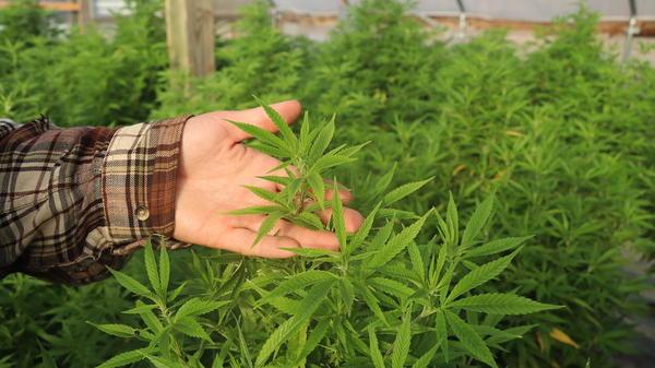 Commercial hemp crop.