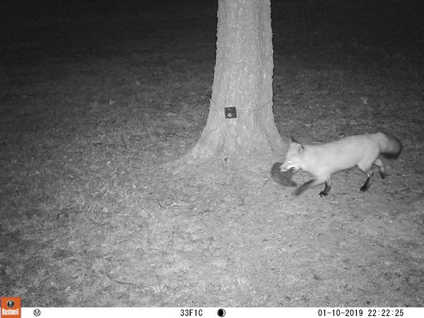 A fox with its prey, captured by a St. Louis Wildlife Project camera.