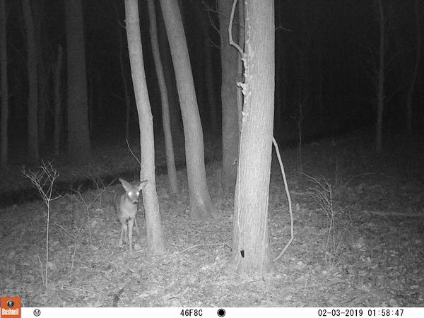 A deer, captured by a St. Louis Wildlife Project camera.