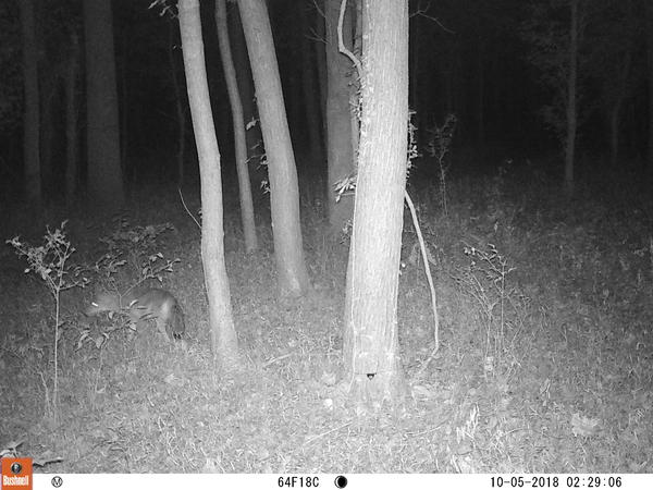 A coyote, captured by a St. Louis Wildlife Project camera.