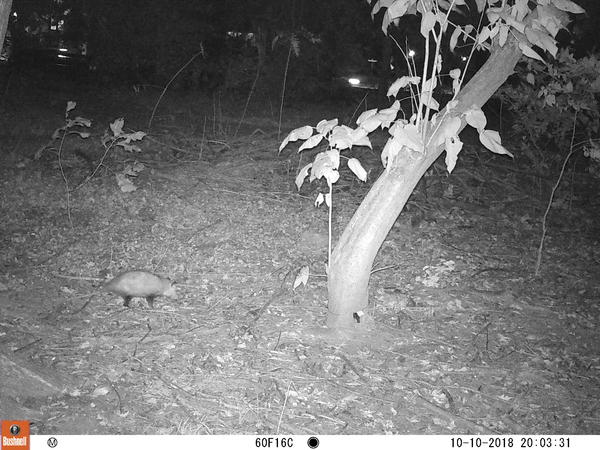 An opossum, captured by a St. Louis Wildlife Project camera.