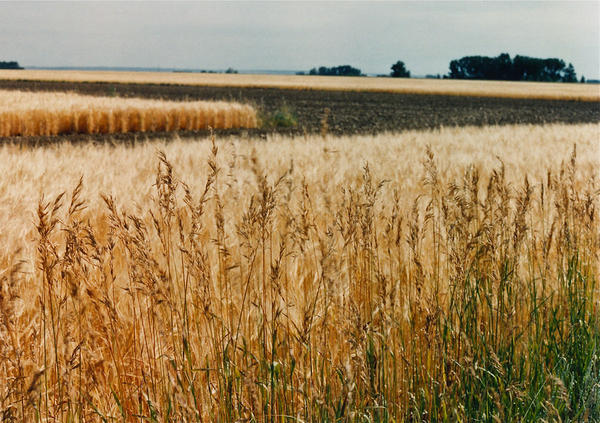 Many wheat crops across Montana were damaged due to excessive rain and snow in 2019.