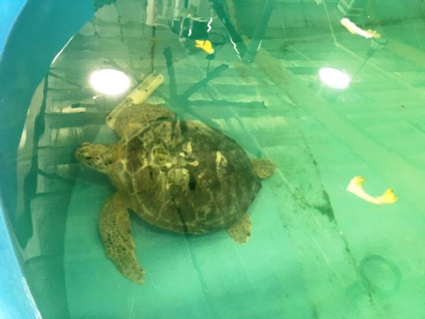 Turtle in one of the rehabilitation pools