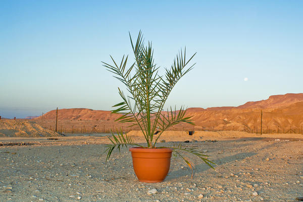 Methuselah, the first date palm tree grown from ancient seeds, in a photo taken in 2008.