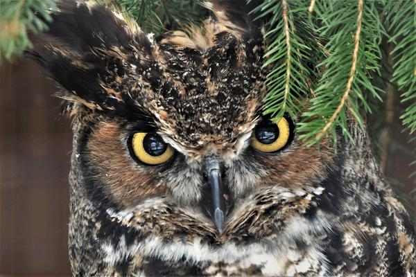 Reserachers find most Great Horned Owls have rat poison in their systems. This is a captive owl at the Howell Nature Center.