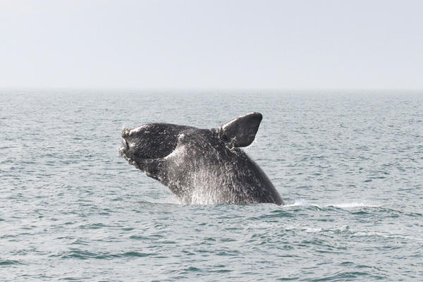 """These marine mammals were named """"right whales"""" because they were considered by whalers to be """"the right ones to hunt."""""""