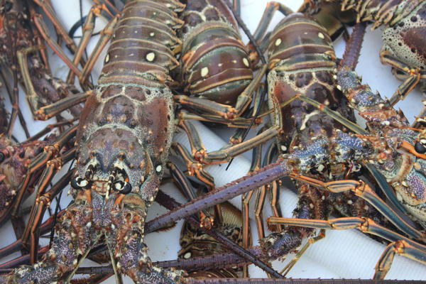 China buys 75 percent to 80 percent of the spiny lobster, fishermen say.
