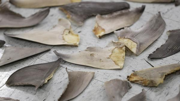 In early February, Authorities siezed 18 boxes containing over 14,000 pounds of sharks fins off the coast of Miami.