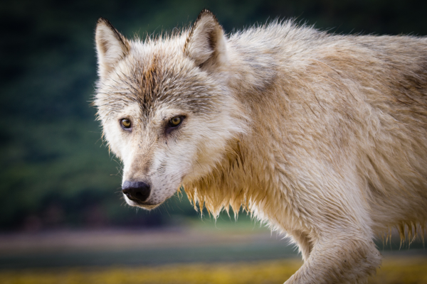 Voters in Colorado will decide on a ballot initiative this fall to reintroduce gray wolves into the southern Rockies. But a lawmaker in neighboring Utah is pushing legislation that would condemn Colorado if it passed.