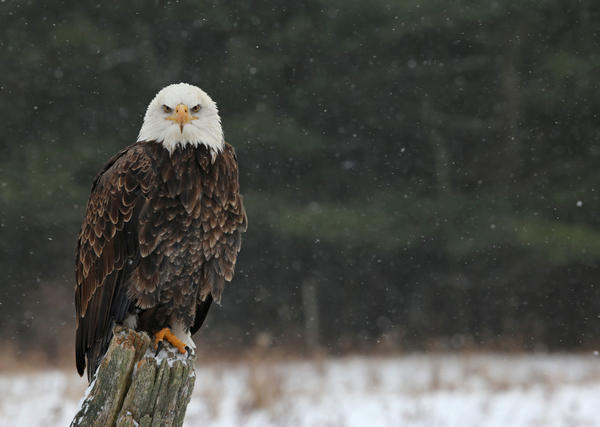 Bald eagle during a previous Mid-Winter Bald Eagle Count(file)