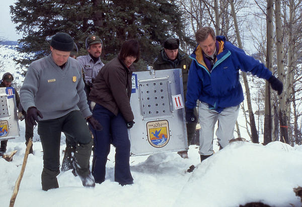 This photo was taken Jan. 12 1995 when the first wolf arrived in Yellowstone at the Crystal Bench Pen.
