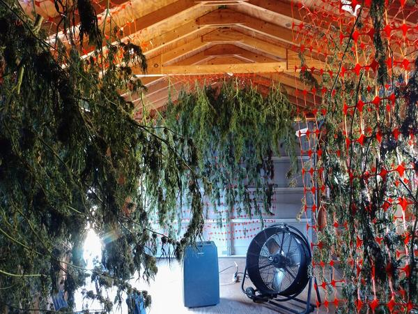 Farmer Elizabeth Melson dries hemp in a converted garage in Sperryville, Va.