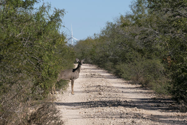 A white-tailed deer emerges from the brush. The Lower Rio Grande Valley National Wildlife Refuge has some of the richest biological diversity in North America — with 1,200 plants, 300 butterflies, and 700 vertebrates, of which 520 are birds.
