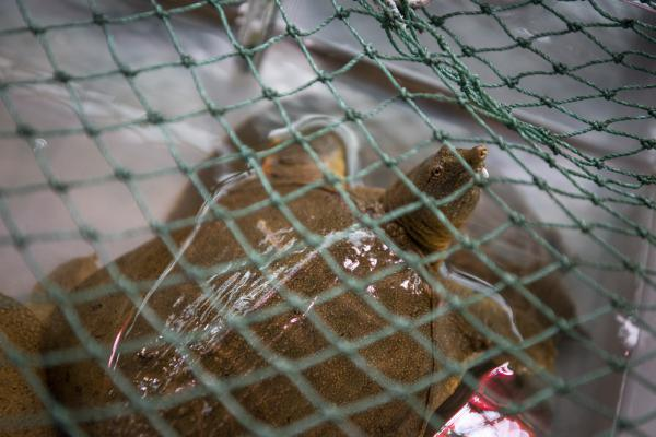 A turtle pokes his snout through a net.