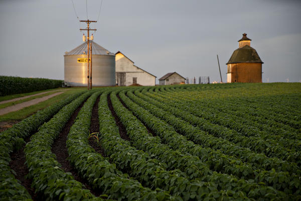 Soybean plants grow in a field near Tiskilwa, Ill.