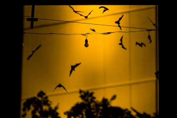 Mexican free-tailed bats fly out from underneath the Congress Avenue Bridge as part of their nightly feeding routine.