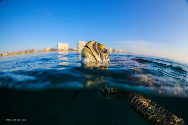 A new University of Florida study found plastic that picks up ocean plants, animals and microbes may be tricking turtles into thinking it's food.