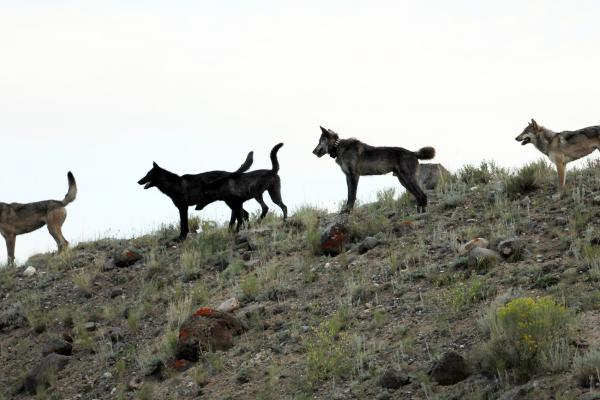 In this August 2012 file photo provided by Wolves of the Rockies a wolf pack stands on a hillside of the Lamar Canyon in Yellowstone National Park, Wyo. (Wolves of the Rockies,File/AP)