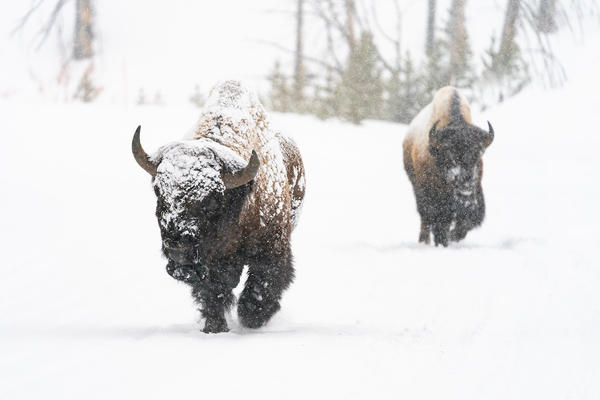 Bull bison walk through the snow on the East Entrance Road in Yellowstone National Park on February 5, 2020.