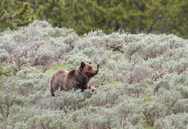 A grizzly sow and cub in Yellowstone National Park.
