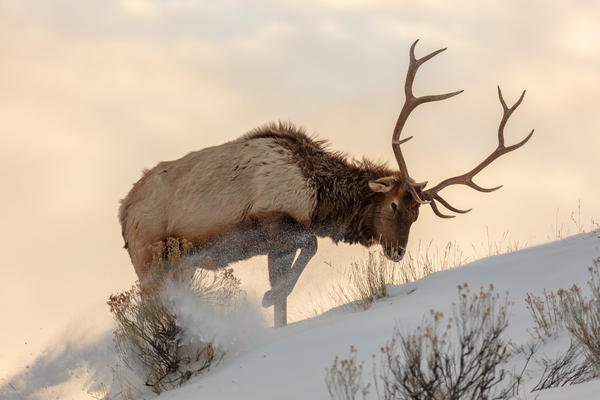 A bull elk searches for food beneath the snow in Yellowstone National Park in February 2020.