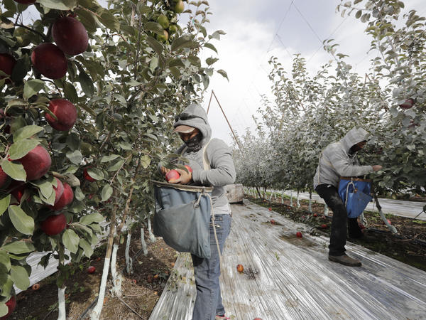 Workers pick apples in a Wapato, Wash., orchard last October. U.S. farms employ hundreds of thousands of seasonal workers, mostly from Mexico, who enter the country on H-2A visas. The potential impact of the coronavirus on seasonal workers has the food industry on edge.