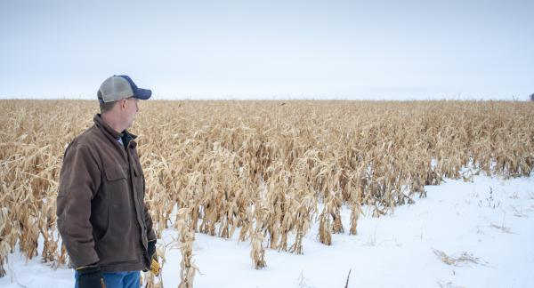North Dakota farmer Ryan Pederson gazes at a field of corn near Rolette, North Dakota that he couldn't harvest last fall. Despite the challenges, North Dakota farmers are growing much more corn than they used to.