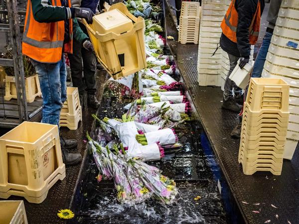 Flowers are being destroyed at the flower auction in Aalsmeer, Netherlands, on March 16, 2020. The Dutch horticultural sector is sounding the alarm about the effects of the coronavirus crisis. Due to the loss of demand, the auctions are struggling with low prices and the need to destroy the flowers.