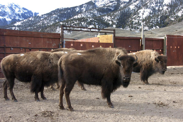 A group of Yellowstone National Park bison are in a holding pen in March 2016. Park officials are now looking for 52 bison that made a run for it after someone cut a hole in their holding pen.