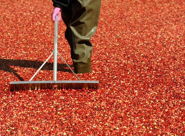 A worker stirs Ocean Spray cranberries in a bog set up in front of Rockefeller Center in October 2008. For decades, Susan Stamberg has managed to sneak her family's controversial cranberry relish recipe onto the air.