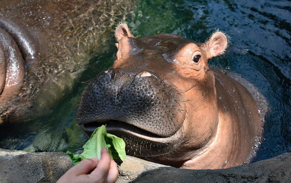 "Fiona is a 3-year-old, 1,300-pound hippo, and she's a growing girl. Her keeper, Jenna Wingate, is grateful to be able to work during the coronavirus crisis: ""It feels good to be needed,"" she says."