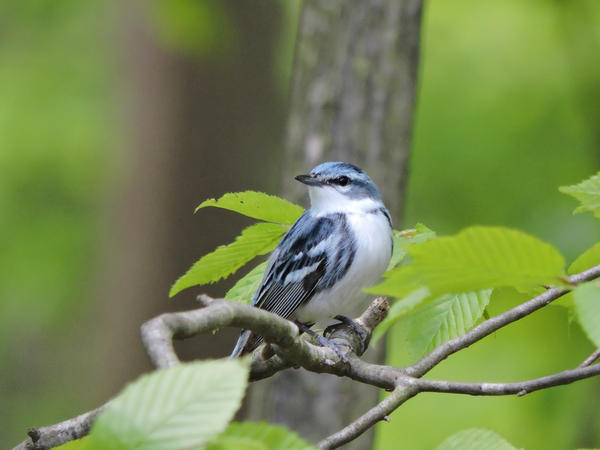 A cerulean warbler sits in a tree, looks really nice today, thanks for noticing.