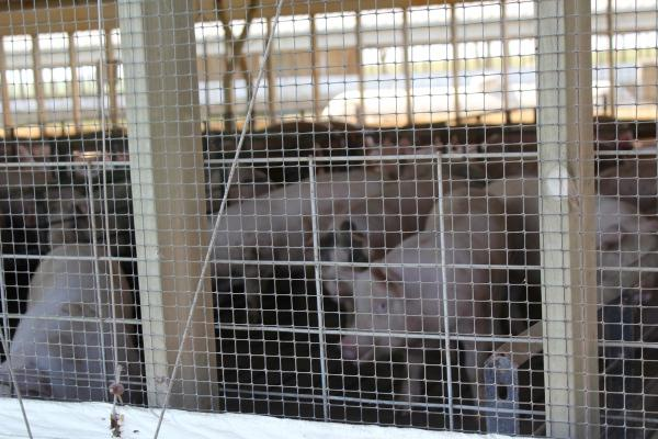 Strict biosecurity prevents visitors from entering most hog barns.