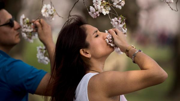 Tourists stop to smell a cluster of cherry blossoms along the Tidal Basin, Saturday, March 30, 2019, in Washington.