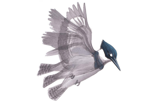 David Sibley's new book, <em>What It's Like To Be a Bird, </em>features illustrations paired with essays about what birds are up to, and why. Here is a Belted Kingfisher.