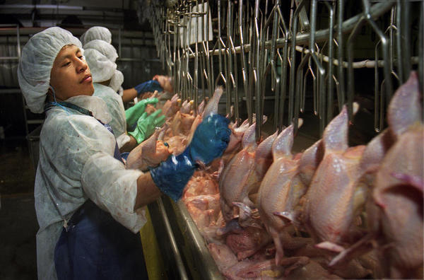 An immigrant worker on the chicken production line at an Iowa poultry processing plant.