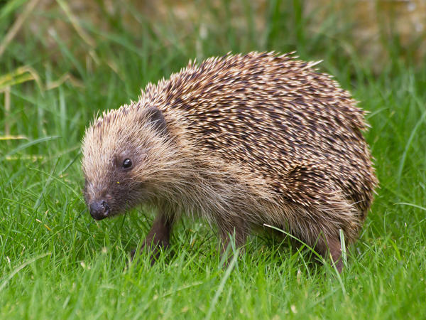 A wild hedgehog in Snettisham, England.