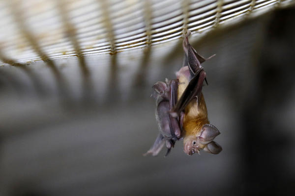 A horseshoe bat. Bats are known to carry many different strains of viruses but do not get sick from them.
