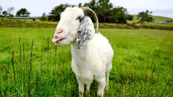 Sweet Farm animal sanctuary in Half Moon Bay, Calif., is offering Goat 2 Meeting: a virtual visit to meet the farm's animals. Pictured is Juno the goat.