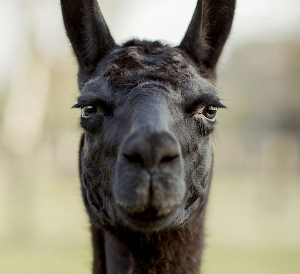 Winter, the 4-year-old llama, helped a group of global researchers discover a treatment that could one day neutralize coronaviruses in affected patients.