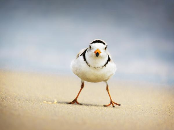 A Piping Plover glares at Jones Beach, Long Island, N.Y. A couple of these endangered birds have reappeared in Chicago.