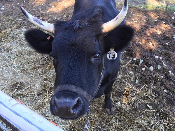 A cow looks up on a farm near Bridger, Montana.
