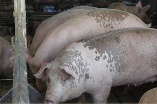 Hog diets can be altered to prevent them from bulking up too much if they have to stay in barns longer than planned.