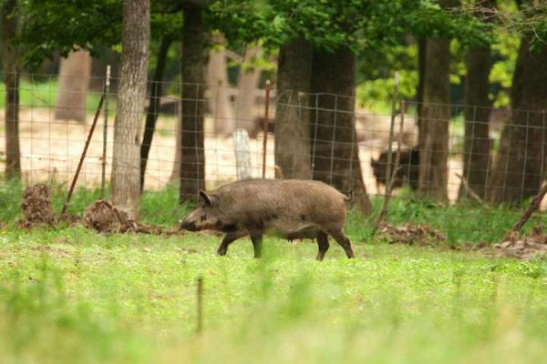 Feral hogs have caused a lot of damage to rural areas. Now their meat may end up helping food banks.