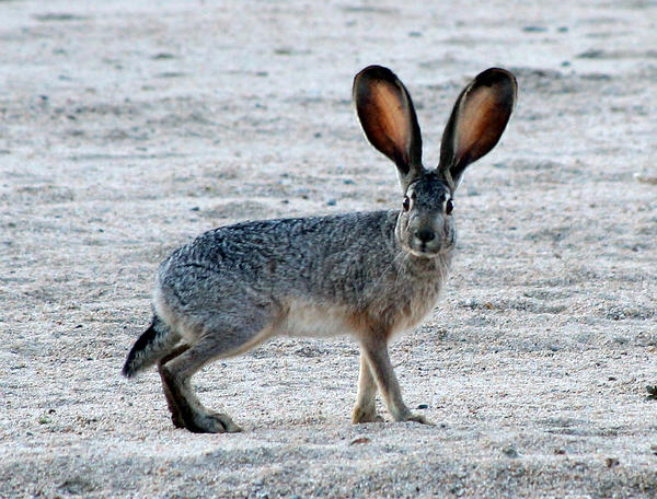 El Paso veterinarian Marc Silpa told Texas Standard that hikers come across clusters of dead wild rabbits around El Paso.